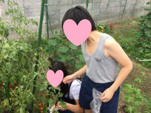 ミニトマトを収穫しました。