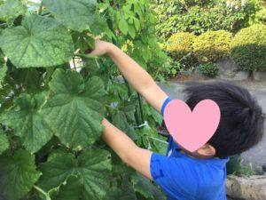 きゅうりを収穫しました!